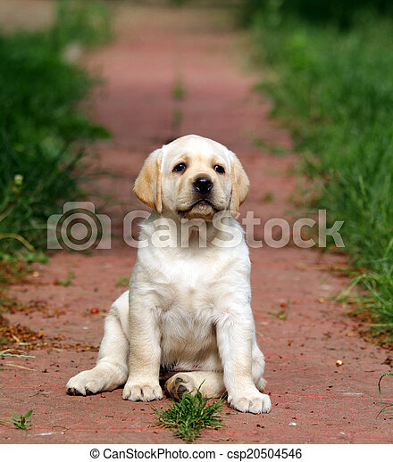 yellow labrador puppy portrait in the garden - csp20504546