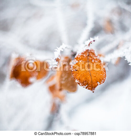 Yellow leaves covered with hoarfrost - csp78957881
