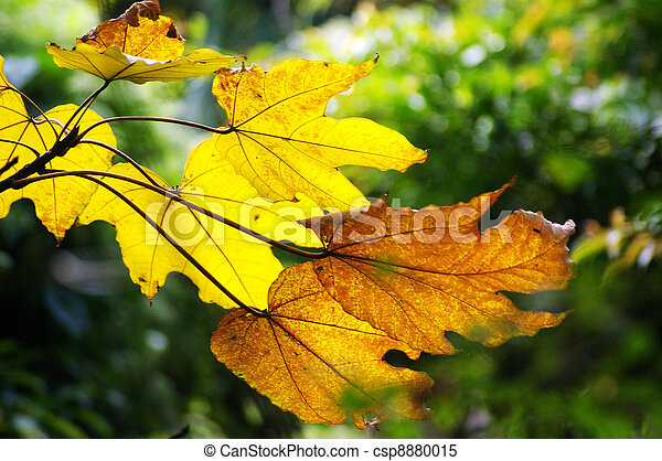 Yellow leaves in autumn - csp8880015