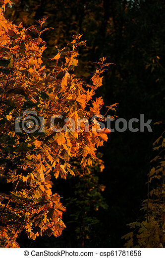Yellow leaves of autumn maple on a black background - csp61781656