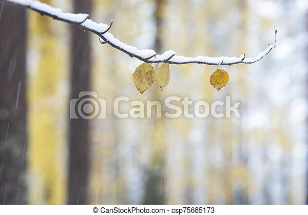 Yellow leaves on birch tree on snowy autumn day - csp75685173