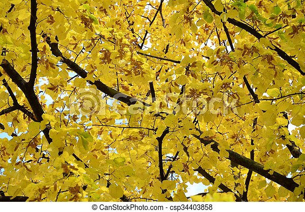 Yellow leaves tree in autumn with blue sky in background - csp34403858