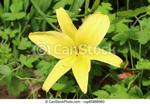 Yellow lily flower in a garden - csp65888960