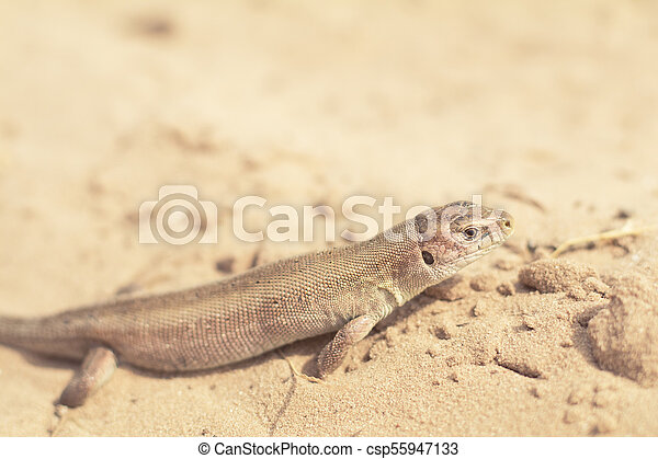 Yellow lizard in nature on the sand in the sunny day - csp55947133