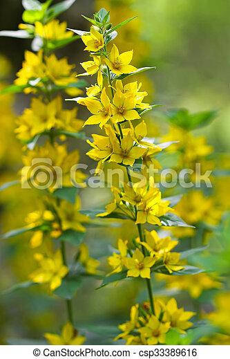 Closeup of yellow loosestrife flower lysimachia vulgaris mightylinksfo