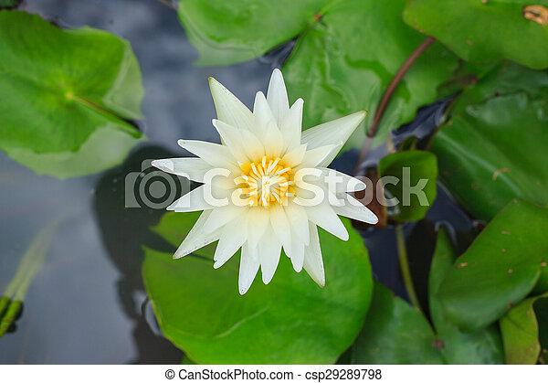 Yellow lotus flower on top view - csp29289798