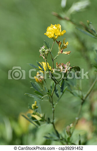 Yellow Lucerne Sickle Alfalfa Or Sickle Medick Medicago Falcata