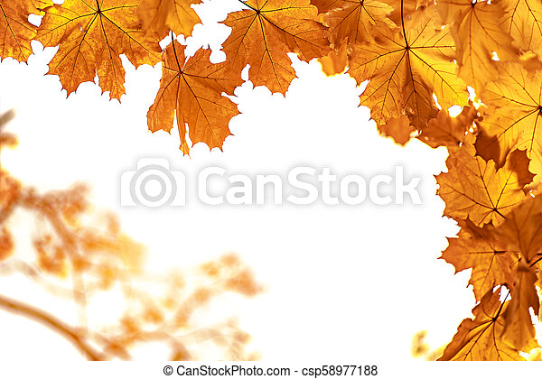 Yellow maple leaves closeup, autumn background - csp58977188