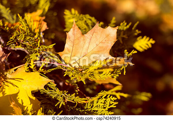 yellow maple leaves in autumn background - csp74240915