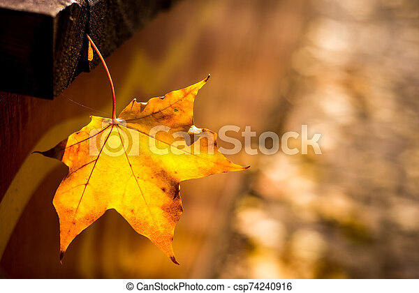 yellow maple leaves in autumn background - csp74240916