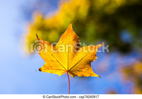 yellow maple leaves in autumn background - csp74240917