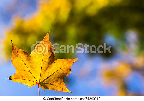 yellow maple leaves in autumn background - csp74240919
