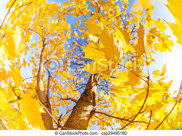 Yellow maple tree leaves composition over sky - csp29495180