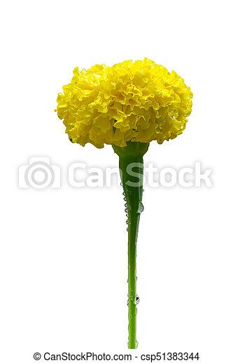 Yellow marigold flower isolated on a white background mightylinksfo