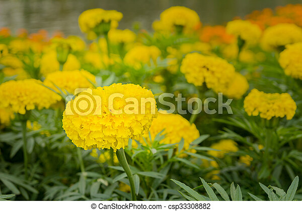 Yellow marigold flower pictures search photographs and photo clip yellow marigold flower csp33308882 mightylinksfo