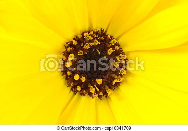 Yellow marigold flower with brown center macro ultra closeup on yellow marigold flower with brown center macro csp10341709 mightylinksfo