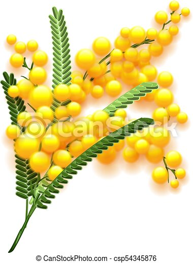 Yellow Mimosa Flower Branch On White Background Flowering Acacia