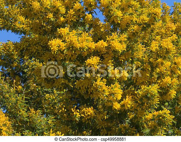 Yellow mimosa flowers bright fluffy yellow mimosa blossoms against yellow mimosa flowers csp49958881 mightylinksfo