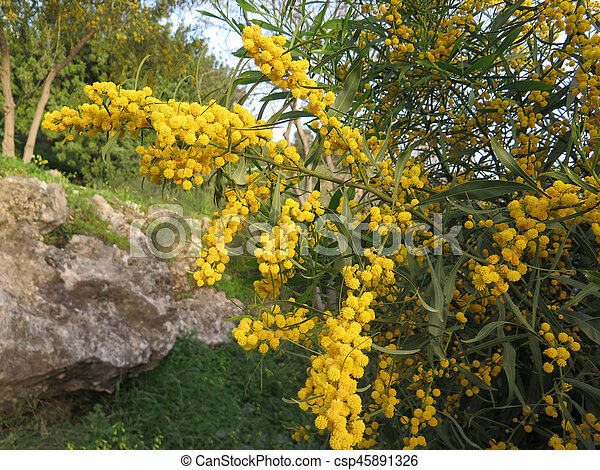 Yellow mimosa flowers in bright spring sunshine in andalusia spain yellow mimosa flowers csp45891326 mightylinksfo