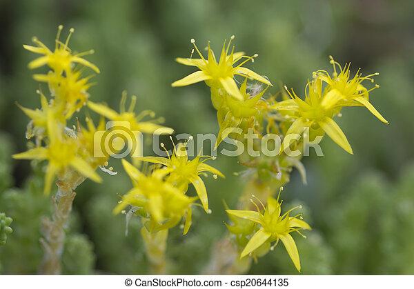 Yellow Mossy Stonecrop - csp20644135