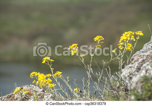 Yellow Mountain Flowers Delicate Spring Yellow Flowers Closeup On