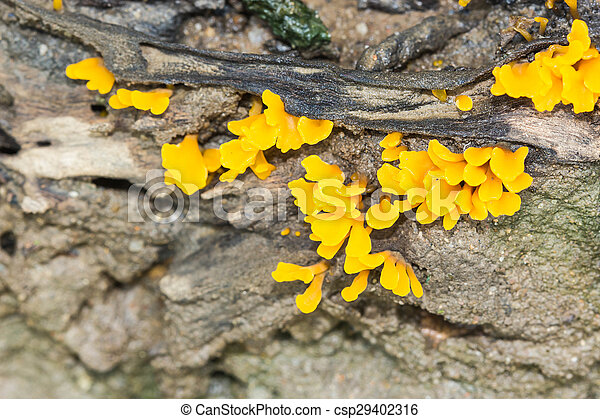 yellow mushrooms in the forest - csp29402316