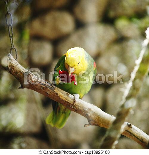 Yellow-naped Amazon Parrot - csp13925180