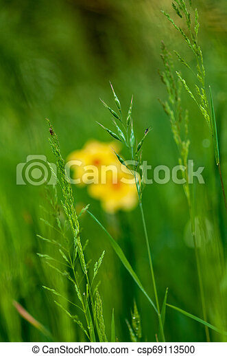 Yellow narcissus daffodil flower on sunshine and blur background - csp69113500