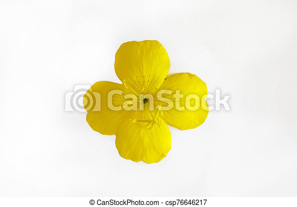 yellow orange flower with four petals isolated on white background - csp76646217