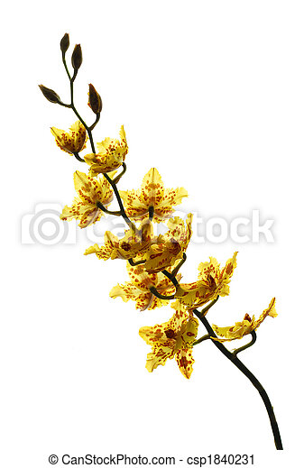 Yellow orchid isolated on a white background - csp1840231