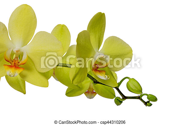 Yellow orchid on a white background light yellow orchid flowers yellow orchid on a white background csp44310206 mightylinksfo