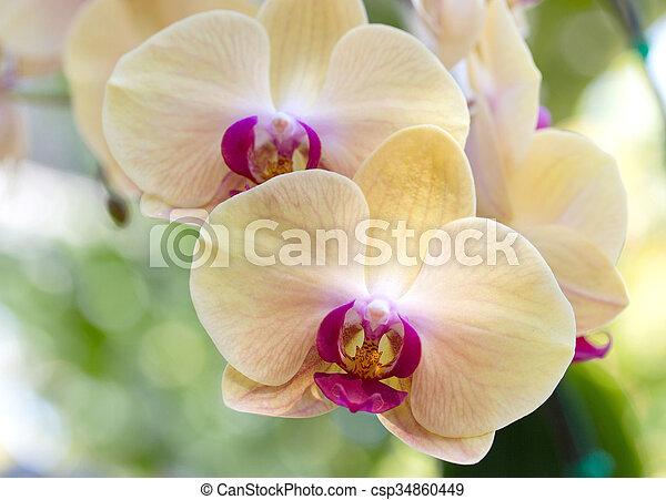 yellow phalaenopsis orchid flower
