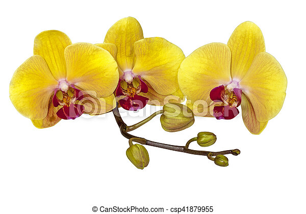 yellow phalaenopsis orchid flowers stem and buds studio shot of