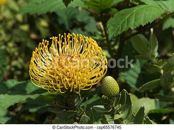 Yellow Pin Cushion Protea Flower