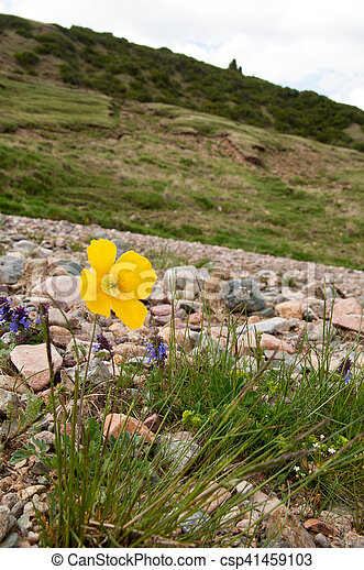 Yellow poppies - csp41459103
