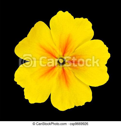 Yellow primrose flower isolated on black background stock image yellow primrose flower isolated on black csp9669926 mightylinksfo