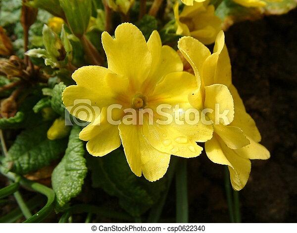 Yellow primroses yellow primrose flowers stock photography search yellow primroses csp0622340 mightylinksfo