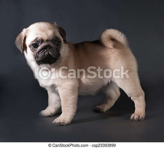 Yellow pug puppy standing on black