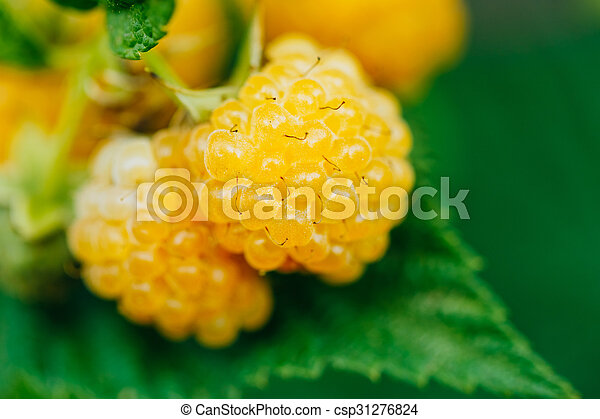 Images Of Yellow Raspberries
