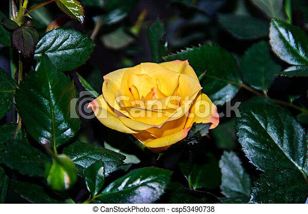 Yellow Rose Flower Green Branch Plant Dark Green Leaves Background