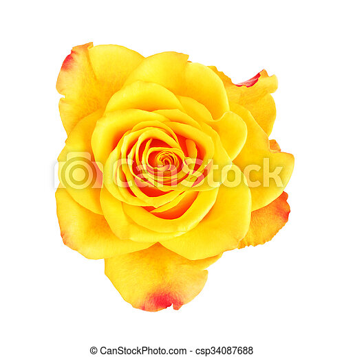 Yellow rose flower single yellow rose flower isolated on white yellow rose flower csp34087688 mightylinksfo