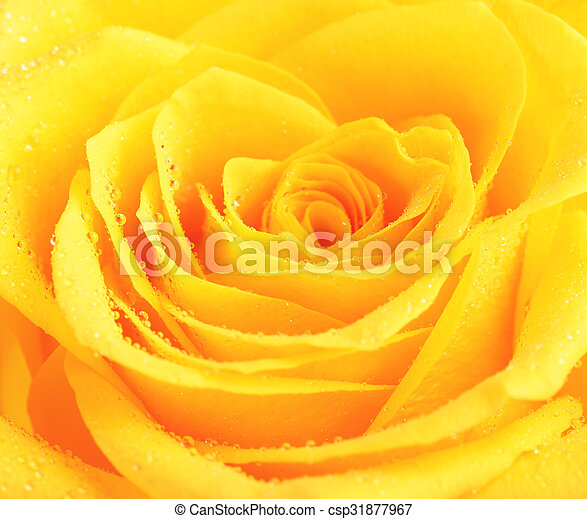 Yellow rose flower single yellow rose flower background close up yellow rose flower csp31877967 mightylinksfo