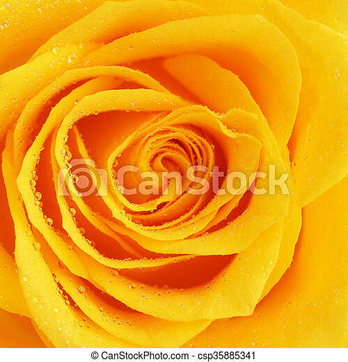 Yellow rose flower single yellow rose flower background close up yellow rose flower csp35885341 mightylinksfo