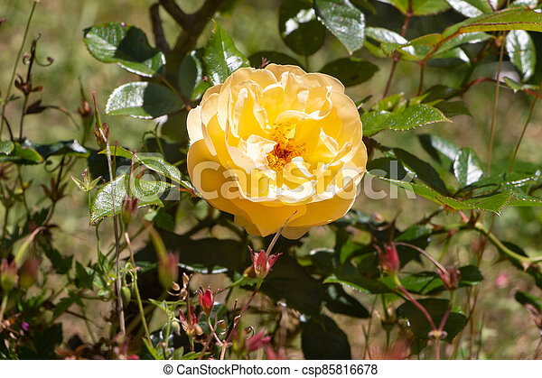 Yellow rose in a garden - csp85816678
