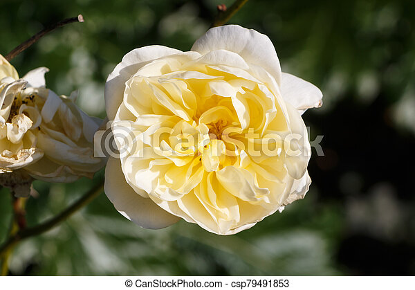 Yellow rose in a garden - csp79491853