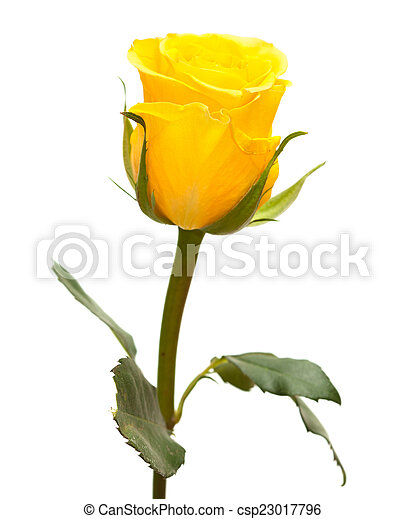 Yellow Rose Isolated Single Yellow Rose Flower Isolated On White