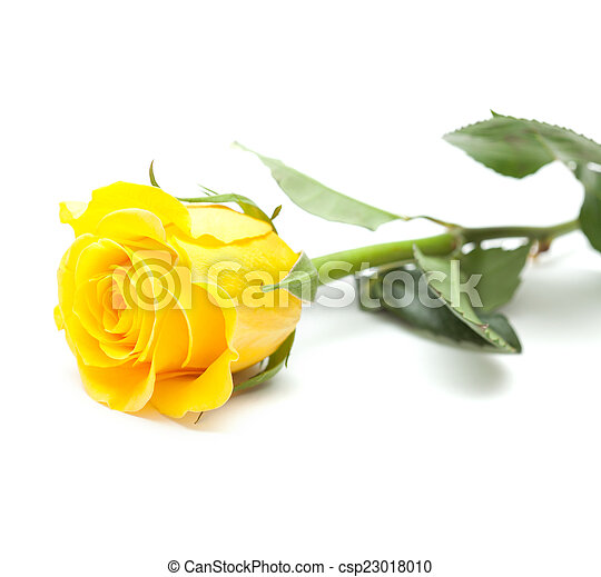 Single Yellow Rose Flower Isolated On White