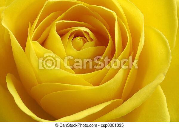 yellow rose - csp0001035