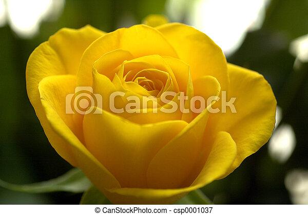 yellow rose1 - csp0001037