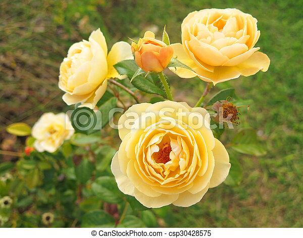 yellow roses - csp30428575